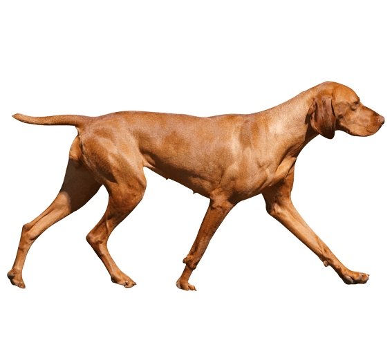 vizsla dog breed facts and information wag dog walking
