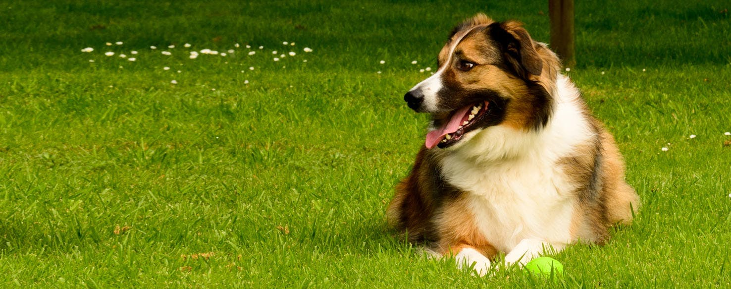 Welsh Sheepdog Dog Breed Facts And