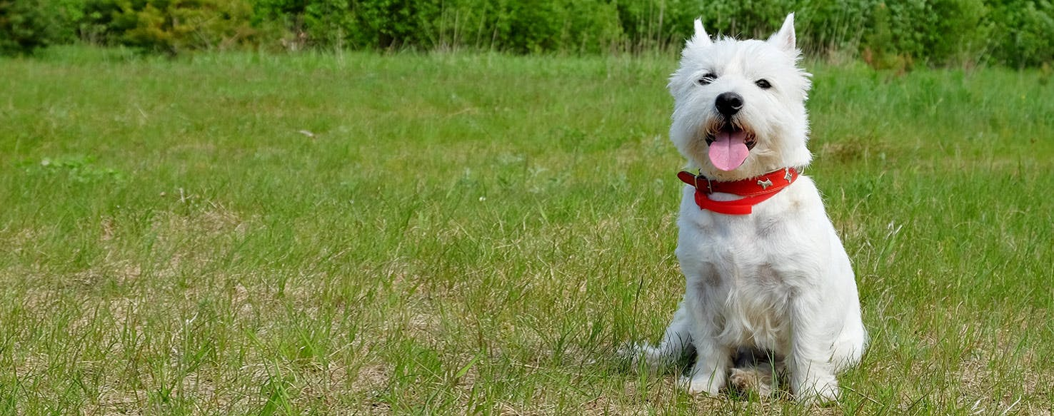 west highland white terrier dog breed facts and information wag