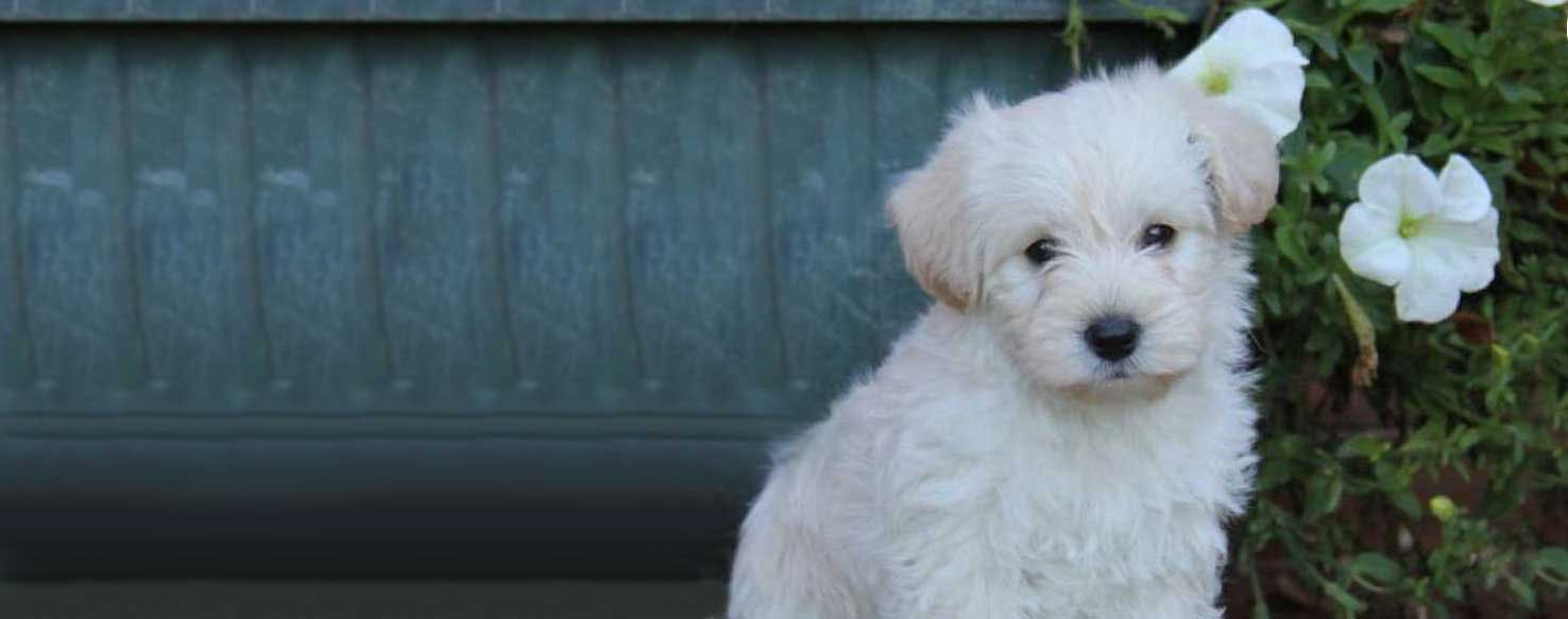 Westiepoo Dog Breed Facts And Information Wag Dog Walking