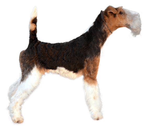 Wire Fox Terrier | Dog Breed Facts and Information - Wag! Dog Walking
