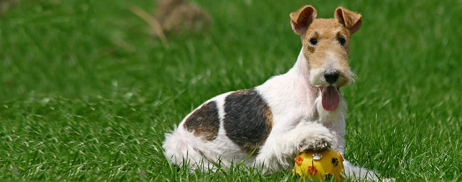Wire Fox Terrier - Dog...