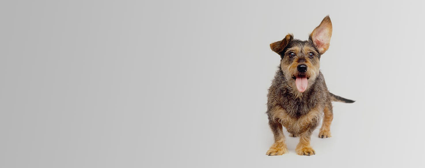 Wire Foxie Doxie | Dog Breed Facts and Information - Wag! Dog Walking