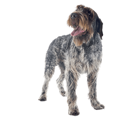 wirehaired pointing griffon dog breed facts and information wag