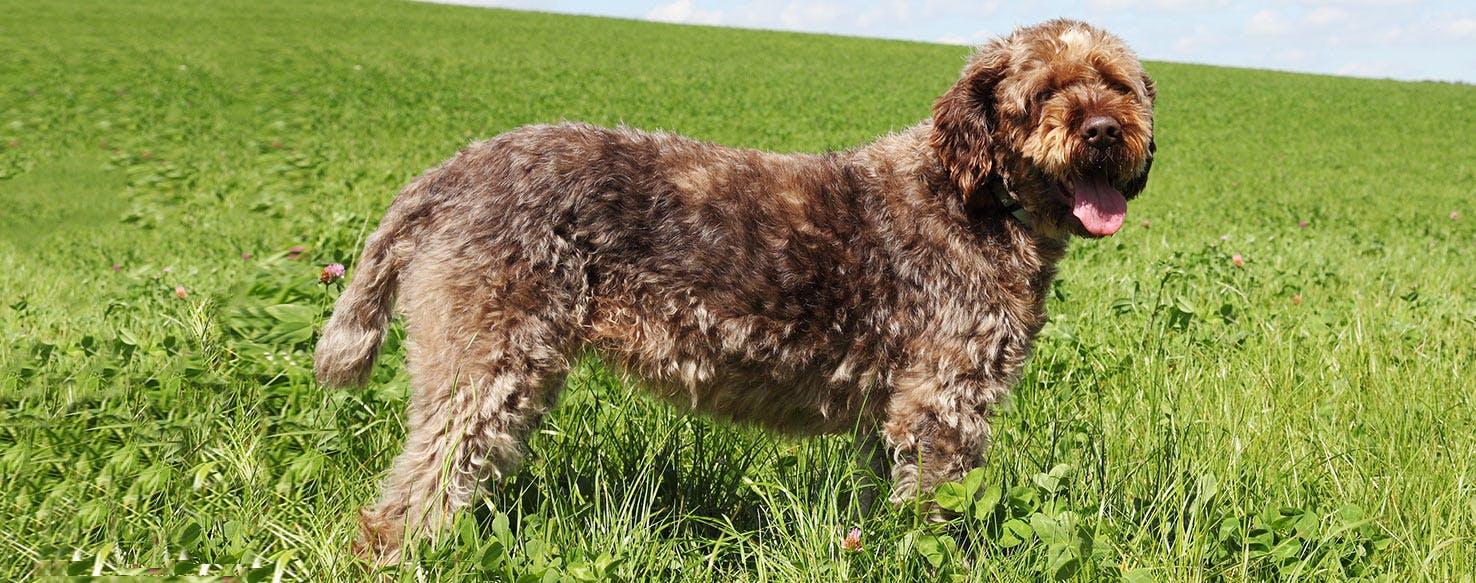 Korthals Griffon Dog Breed