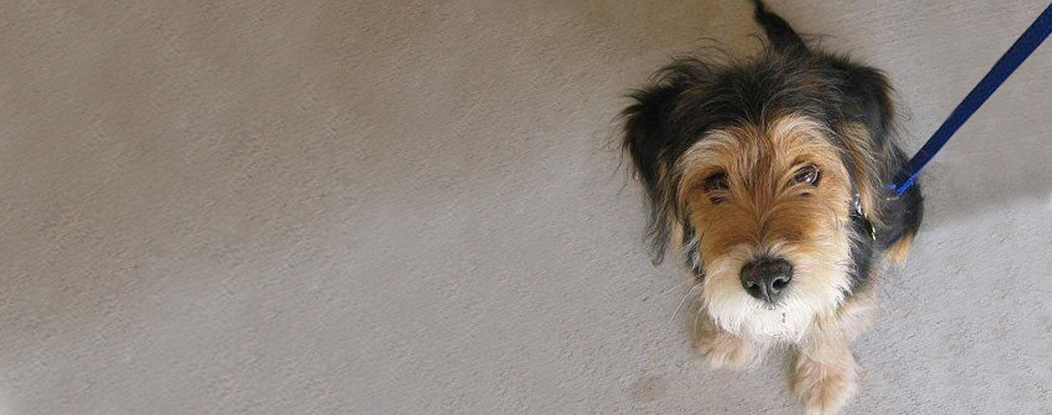 Wirelsh Terrier | Dog Breed Facts and Information - Wag! Dog Walking