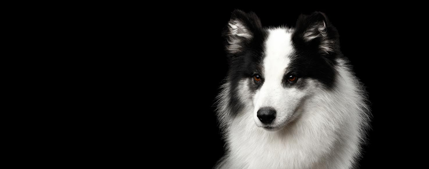 Japanese Laika: features of the breed