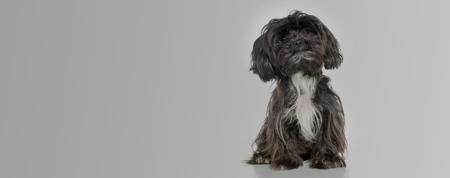 Yorkie-Apso | Dog Breed Facts and Information - Wag! Dog Walking