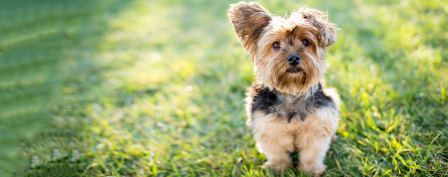 Yorkshire Terrier | Dog Breed Facts and Information - Wag