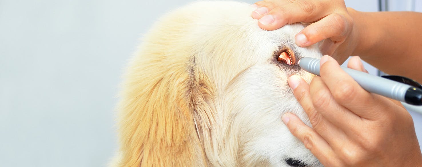 Can Dogs Get the Flu? What Is Canine Flu? - WebMD