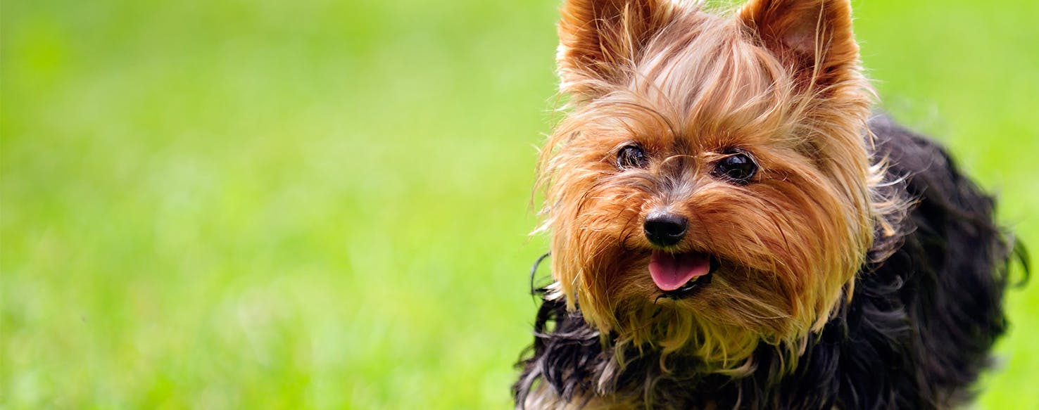 Can Dogs Get Herpes?