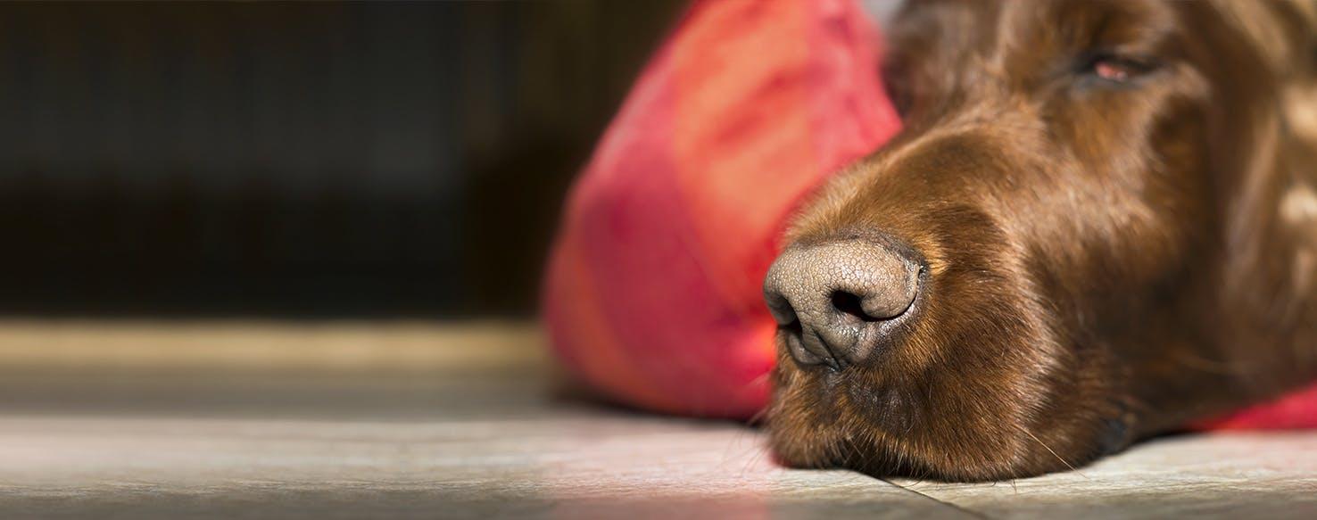 wellness-can-dogs-get-nose-bleeds-hero-image