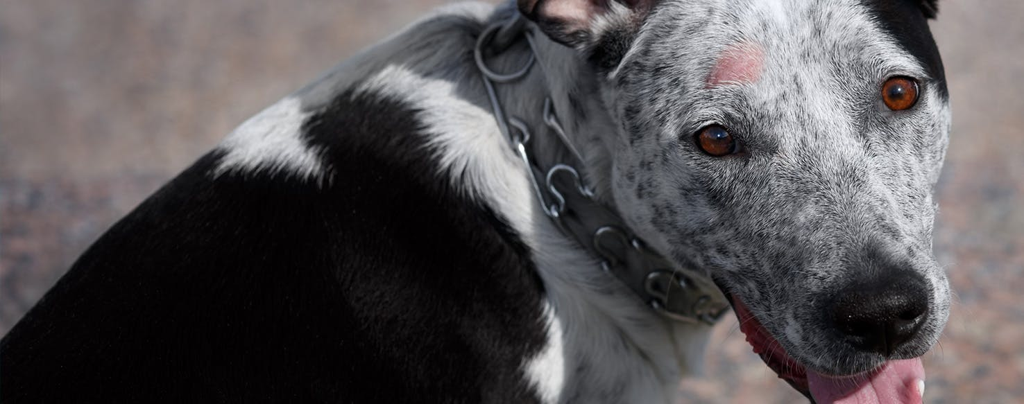 can dogs get shingles from humans