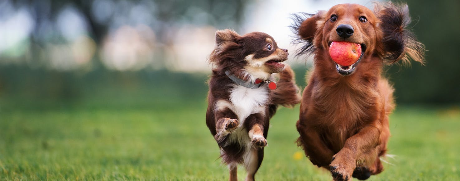 Can Dogs Catch Tapeworms From Other Dogs