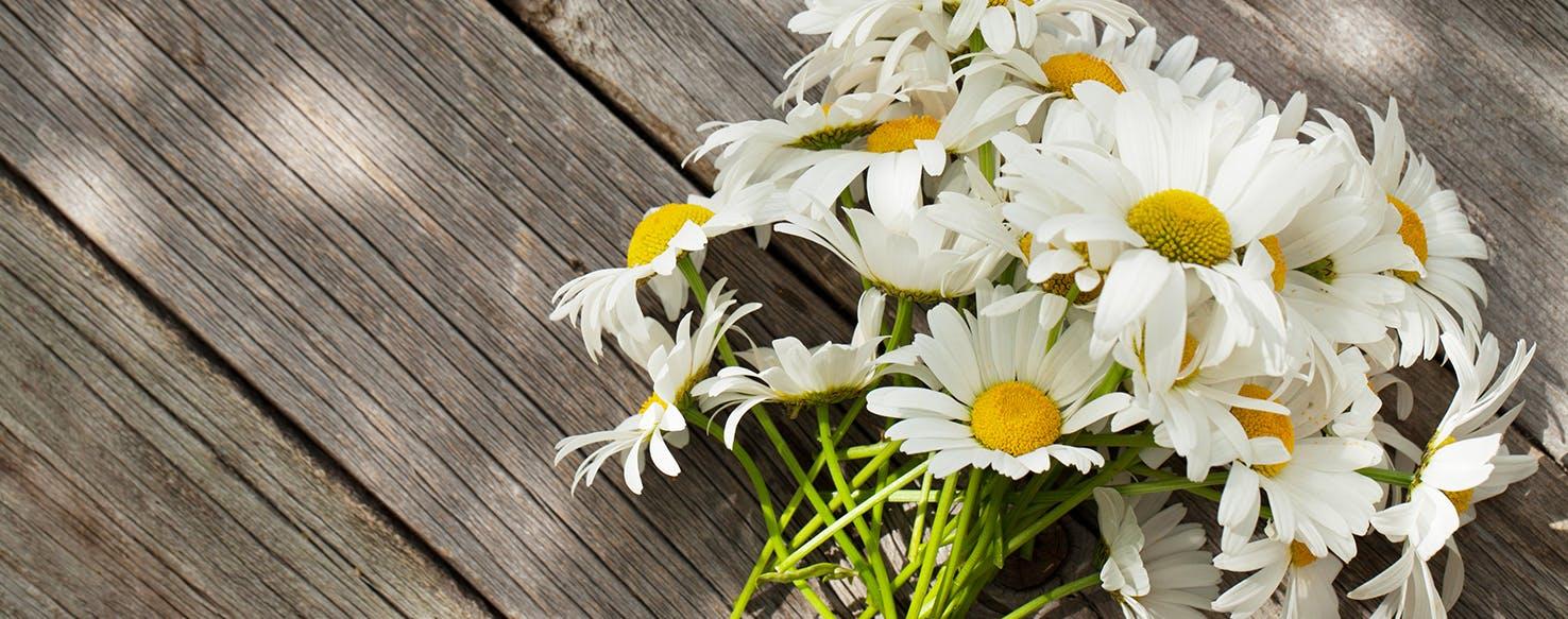 wellness-chamomile-benefits-for-your-dog-hero-image