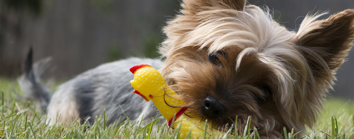Harmful Chewing Habits in Dogs