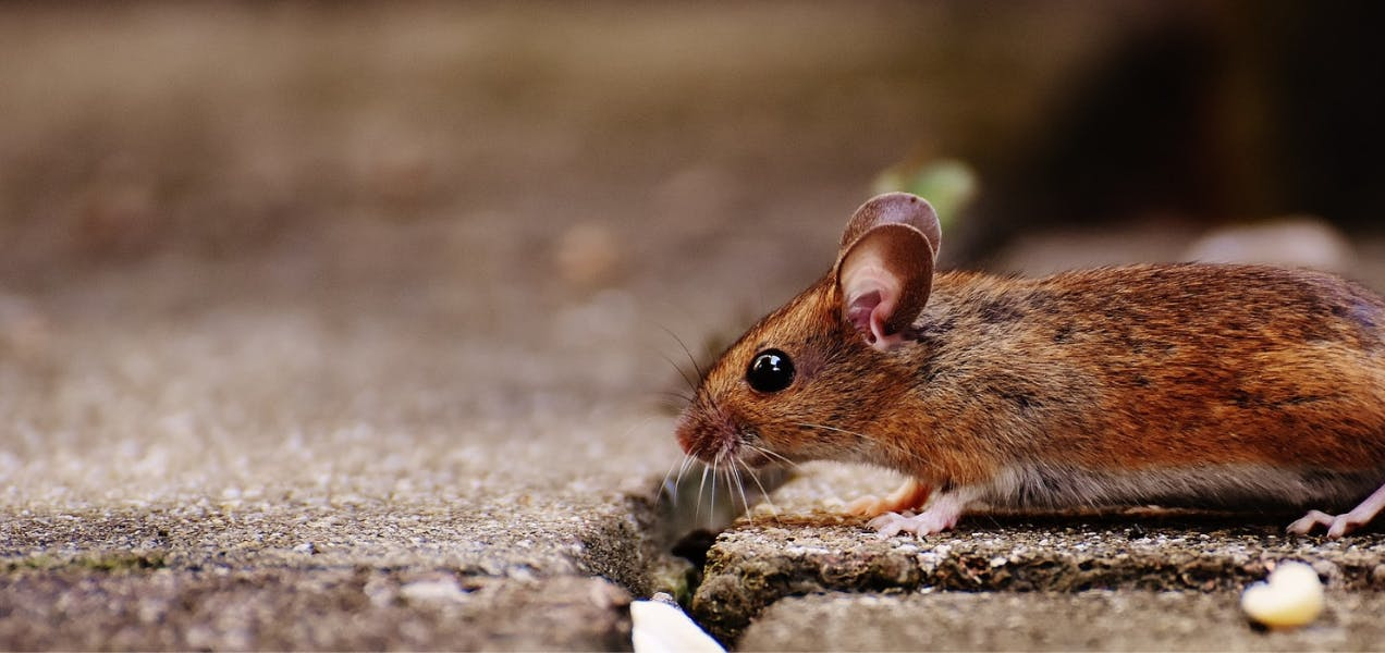 wellness-can-dogs-get-rabies-from-rats-and-mice-hero-image