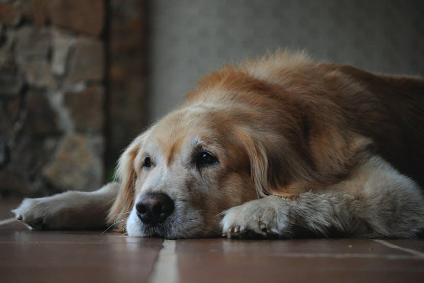 wellness-5-common-autoimmune-diseases-in-elderly-dogs-hero-image