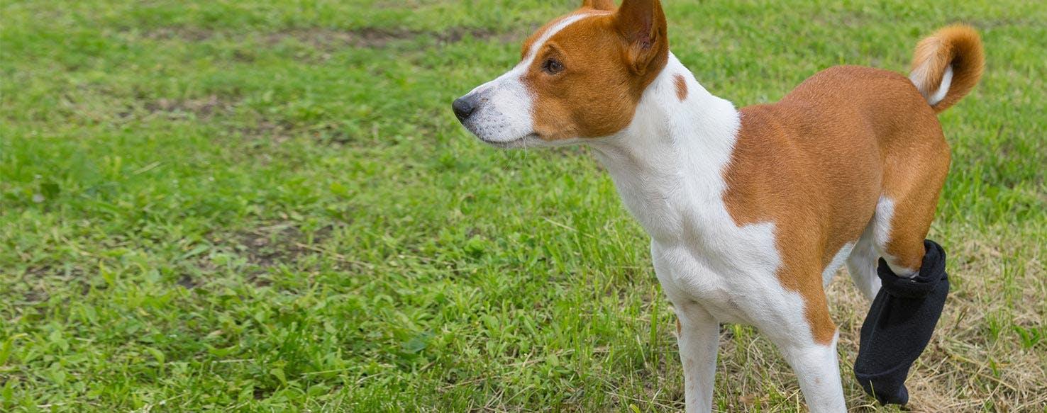 wellness-hind-end-weakness-in-dogs-hero-image