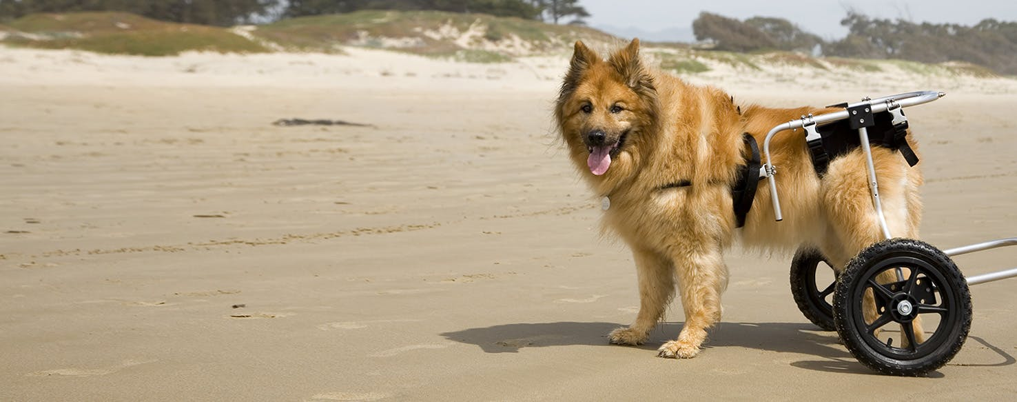 how to prevent hip dysplasia in your dog