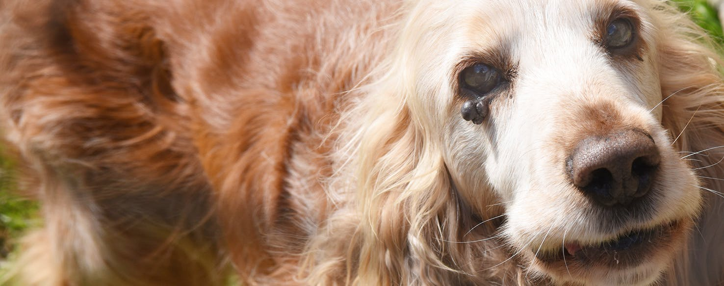 How to Prevent Warts on Your Dog