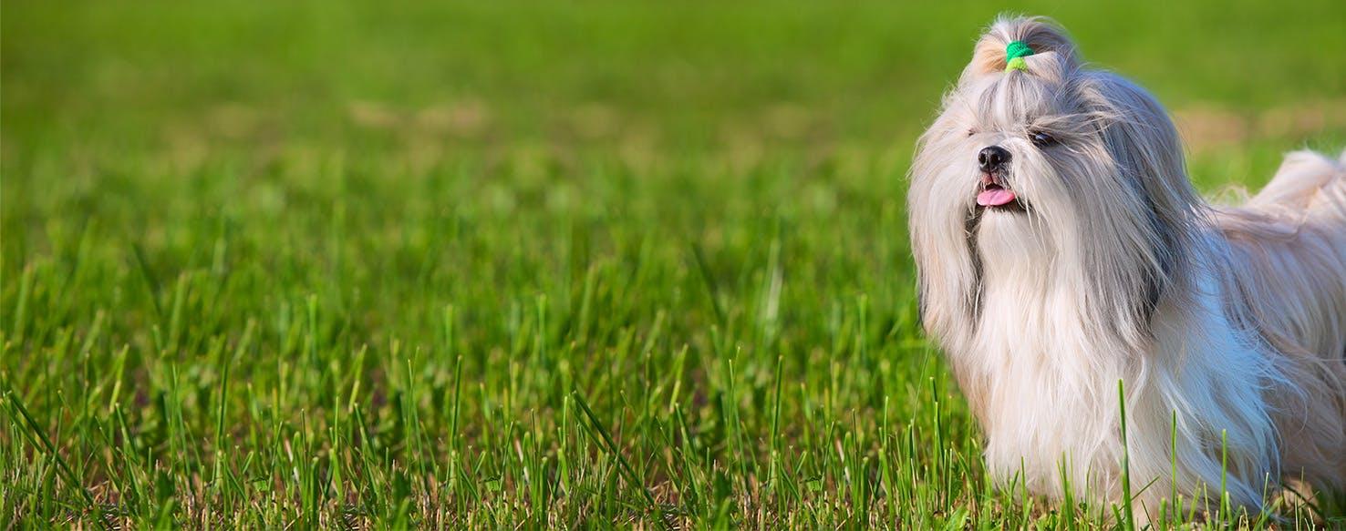 Why Do Shih Tzu Dogs Stink Wag