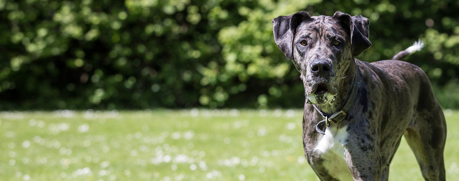 Why Do Great Danes Put Their Paws On You Wag
