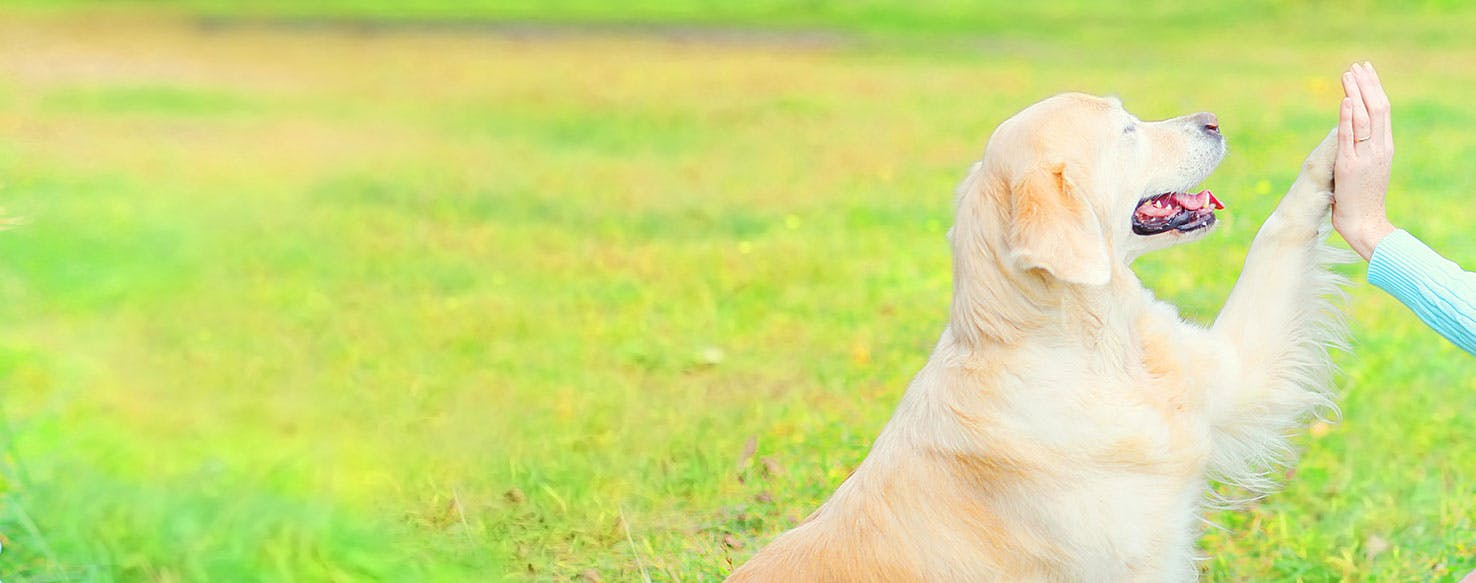 Why Do Golden Retrievers Put Their Paw On You - Wag!