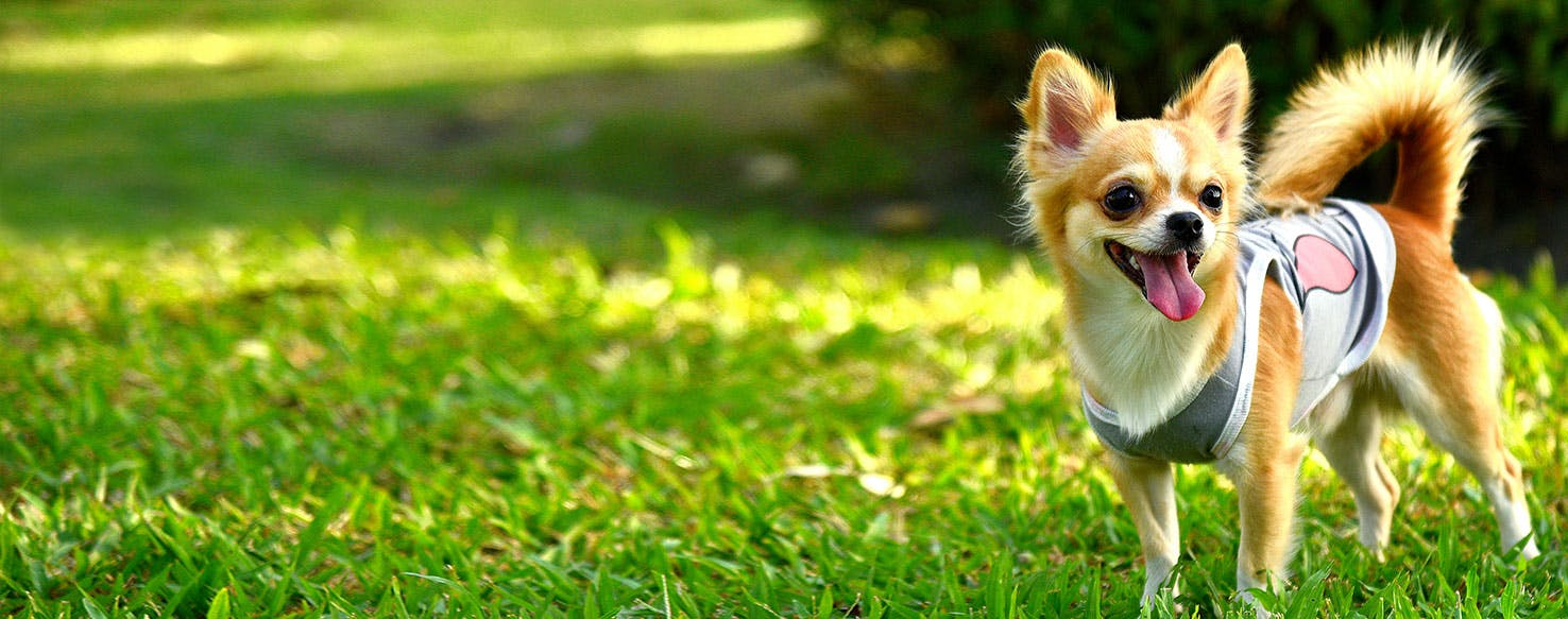 Why Do Chihuahuas Reverse Sneeze Wag