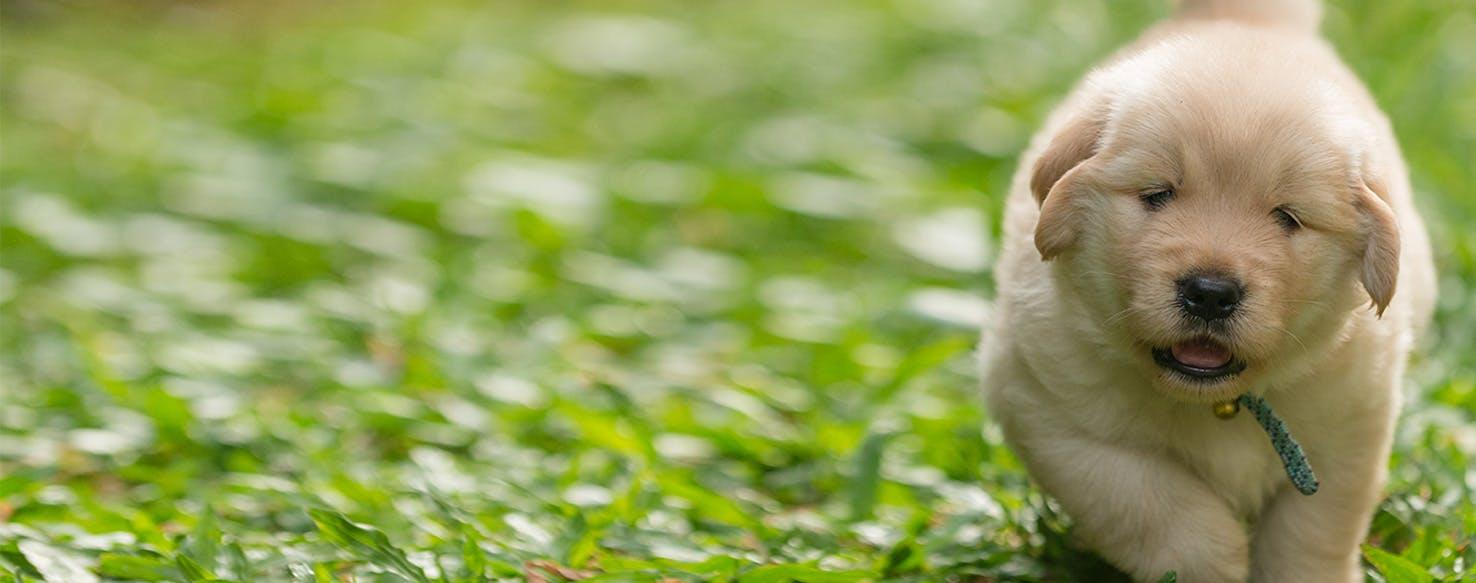 Why Do Golden Retrievers Smell - Wag!