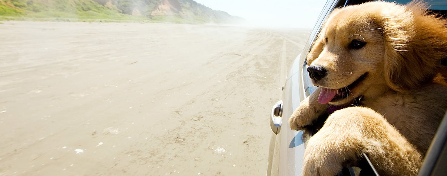 Why Do Dogs Shake On Car Rides - Wag!