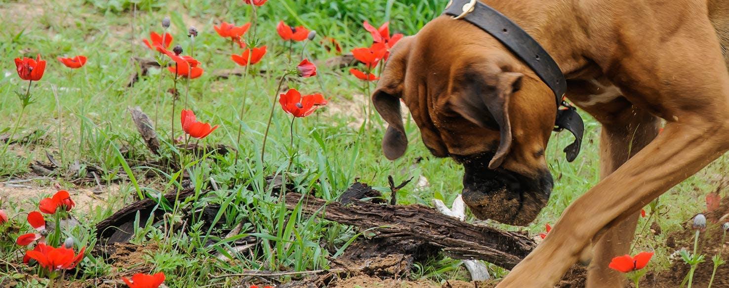 Why Do Dogs Bury Bones - Wag!