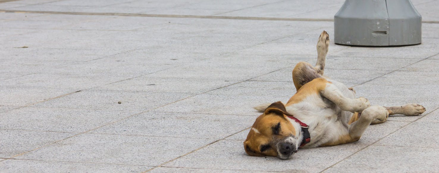 Why Do Dogs Scratch The Floor Wag