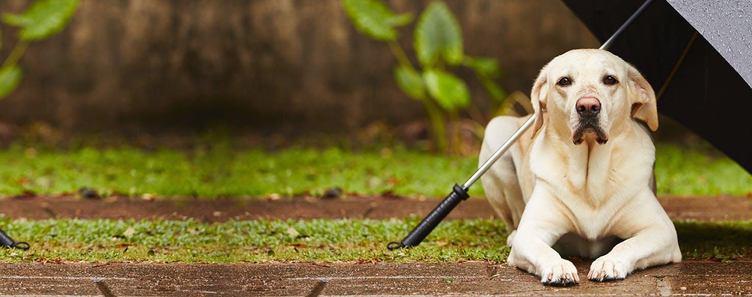 Why Dogs Don't Like Rain - Wag!