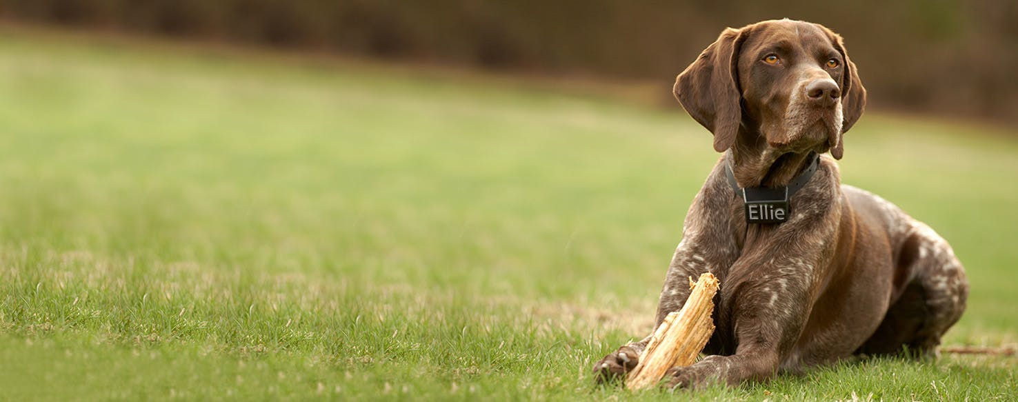 German Shorthaired Pointer Dog Names | Popular Male and Female Names