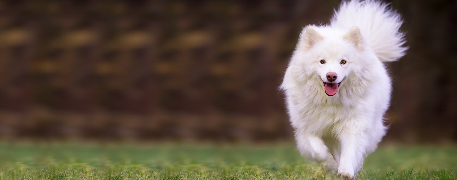 Finnish Lapphund Dog Names Popular Male And Female Names Wag