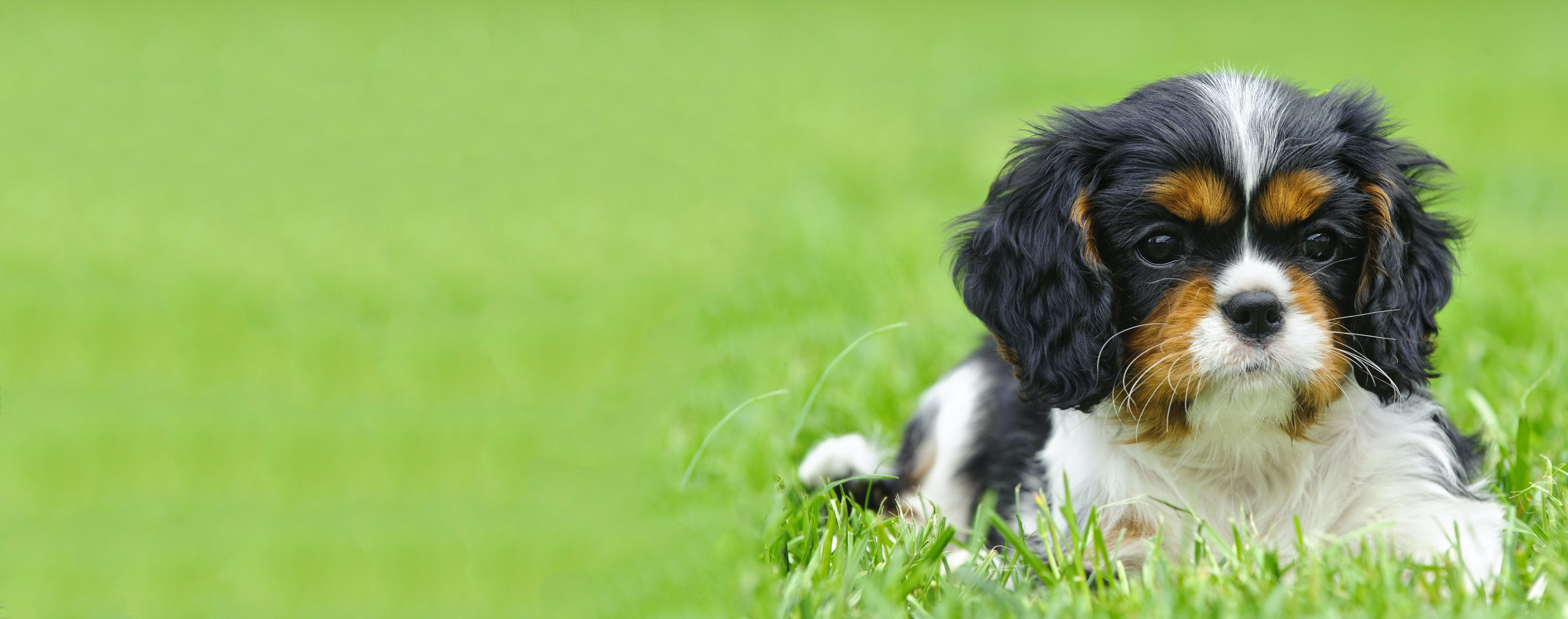 Cavalier King Charles Spaniel Dog Names Popular Male And Female Names Wag
