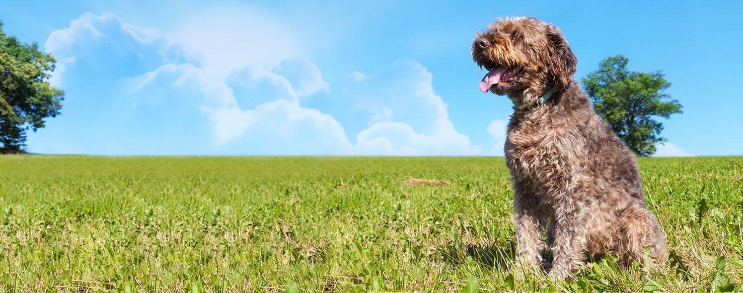 Wirehaired Pointing Griffon Dog Names | Popular Male and Female