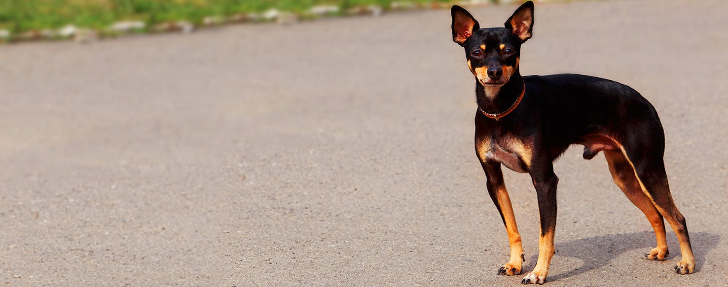 Miniature Pinscher Dog Names Popular Male And Female Names Wag