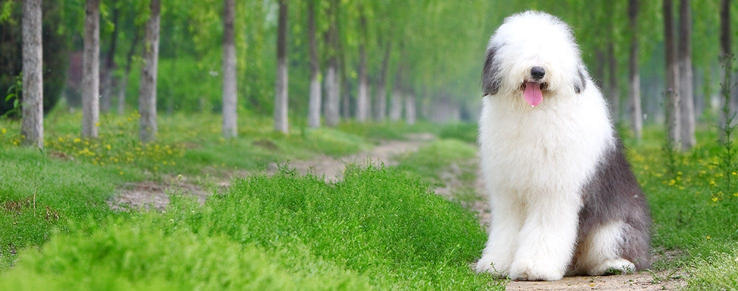 Old English Sheepdog Dog Names