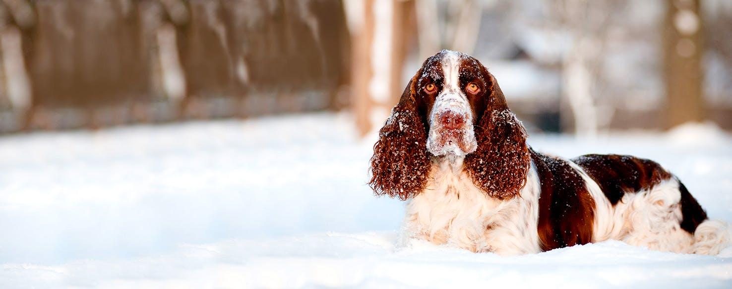 Welsh Springer Spaniel Dog Names Popular Male And Female Names Wag