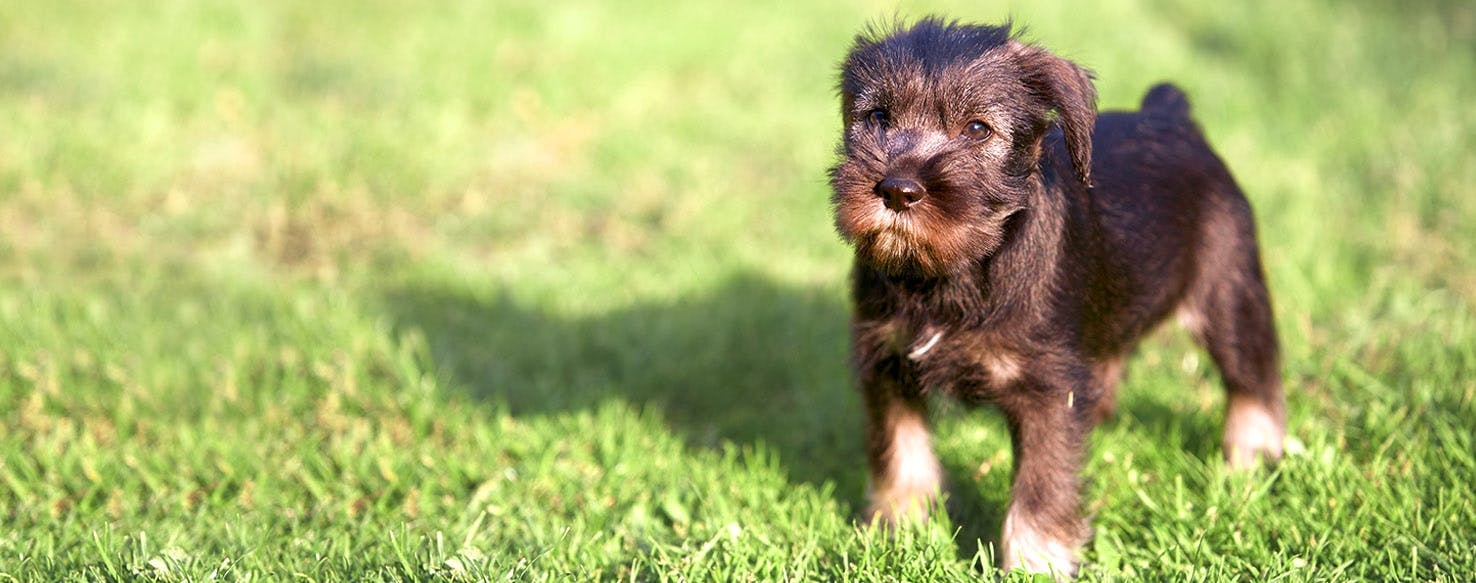 Miniature Schnauzer Dog Names Popular Male And Female Names Wag