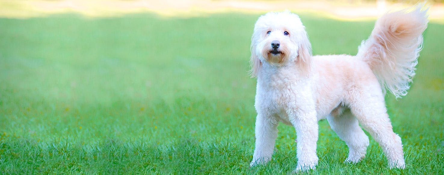 Goldendoodle Dog Names Popular Male And Female Names Wag