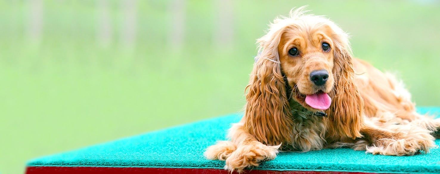 English Cocker Spaniel Dog Names Popular Male And Female Names Wag
