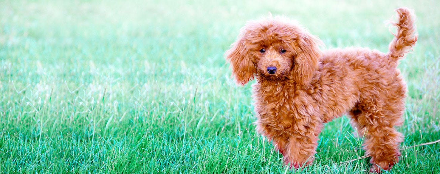 Teacup Poodle Dog Names Popular Male And Female Names Wag