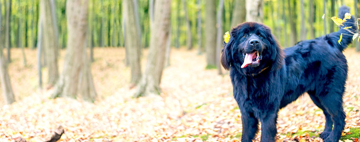 Newfoundland Dog Names Popular Male And Female Names Wag