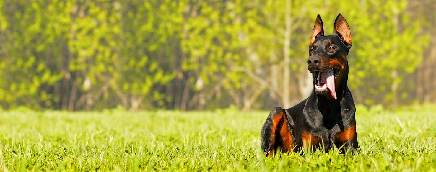 Doberman Pinscher Dog Names Popular Male And Female Names Wag
