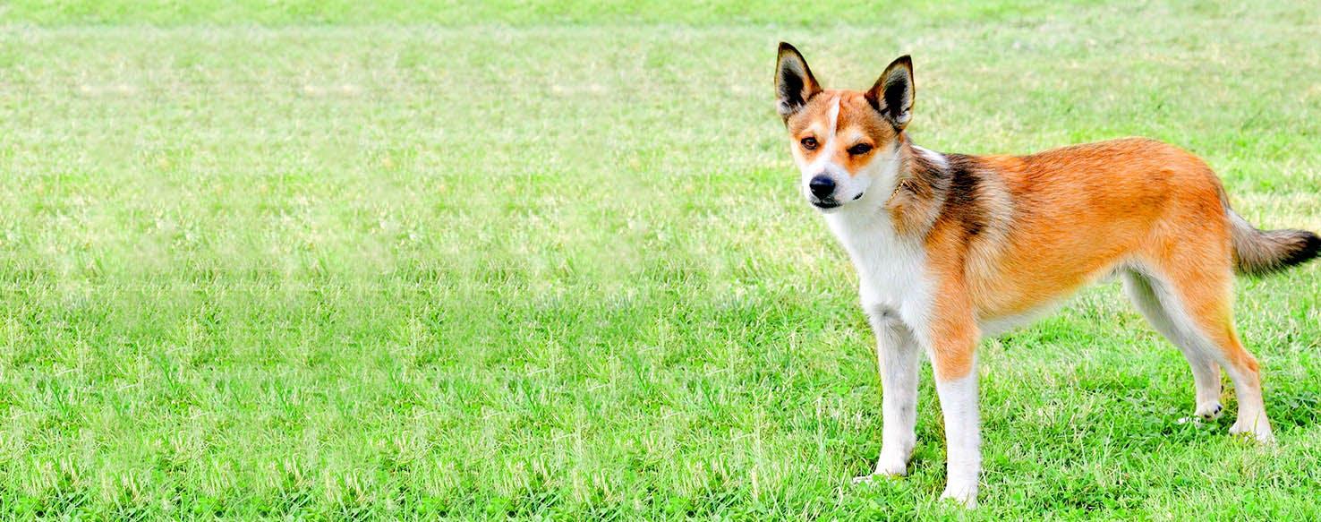 Norwegian Lundehund Dog Names   Popular Male and Female ...