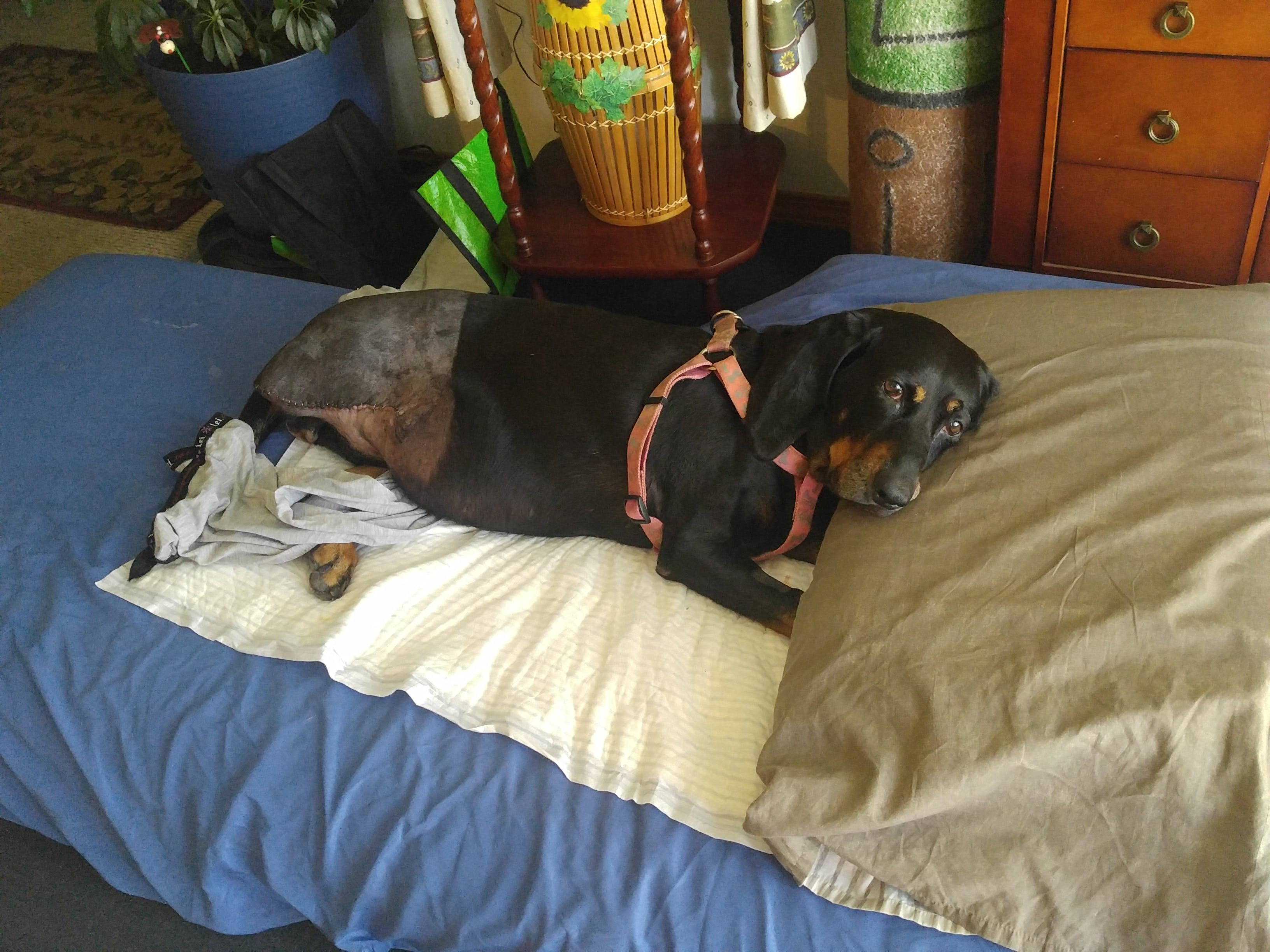 Annabell sissy poo's name story for Black & Tan Coonhound Dog Names