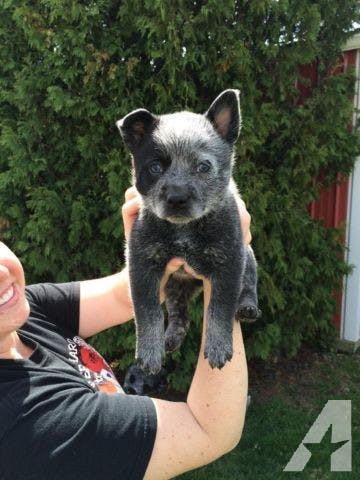 Bella's name story for Blue Heeler Dog Names
